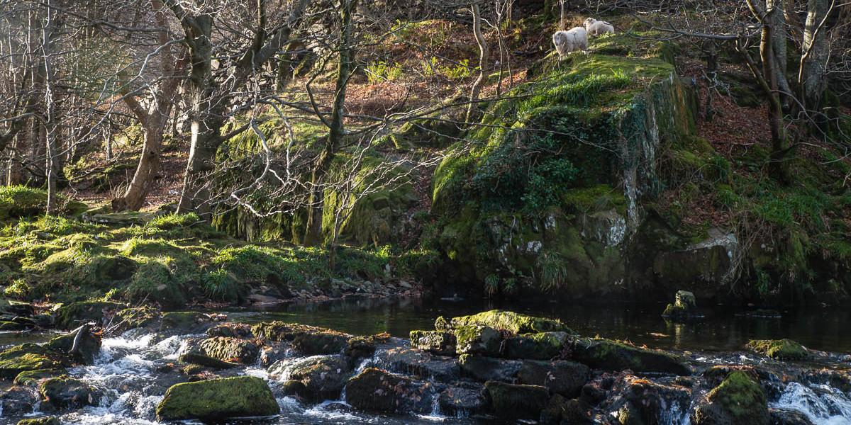 Sheep above the river Glaslyn near Beddgelert