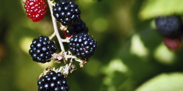 What To Do With All The Blackberries