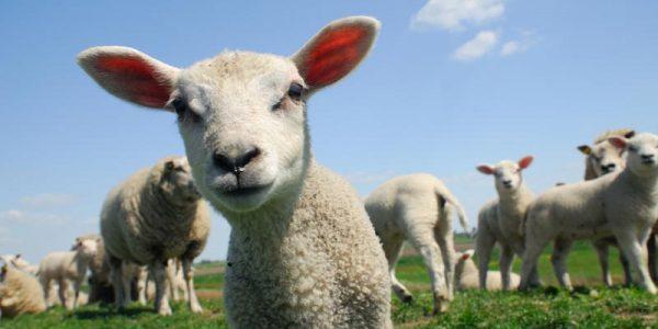 Curious Spring Lamb