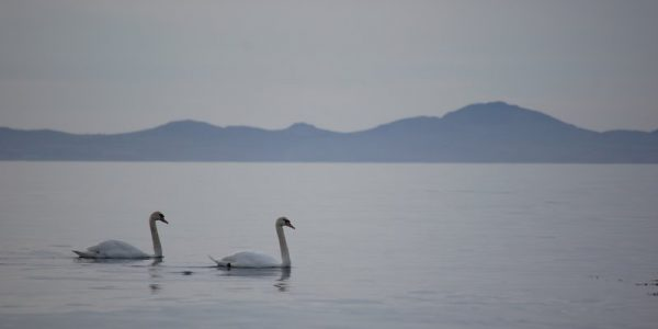 Two Swans a Swimming