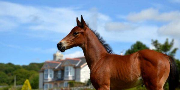Newborn Foal at Bwthyn-Bach