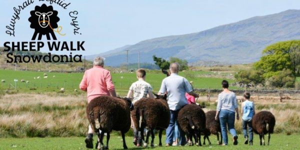 Want to Go Sheep Walking in Snowdonia?
