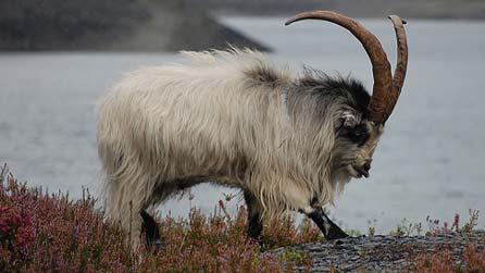 mountain goat pentreberw